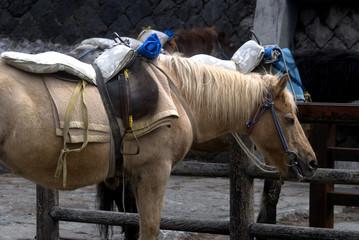 Horses, Mt, Fuji, Japan