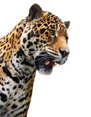 Jaguar head, wild animal isolated on white