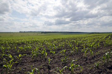 The maize field