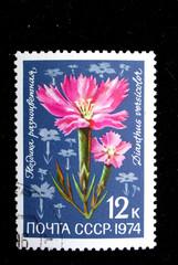 Dianthus verscicolor