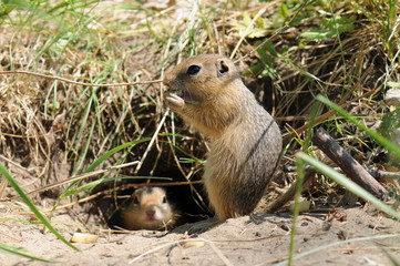 Family gophers (Ground Squirrel)