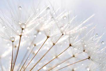 water droplet on dandelion seeds