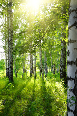 Foto auf AluDibond Birkenwald summer birch woods with sun