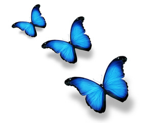 Three blue flag butterflies, isolated on white