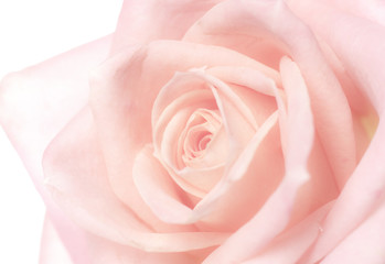 Spoed Fotobehang Macro rose