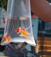 Goldfish Prize In Bag