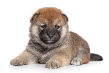 Wall Mural - Shiba Inu puppy on white background