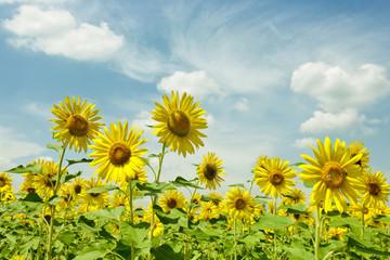 Sunward Sunflowers
