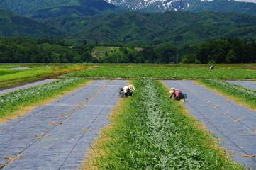 西瓜畑の作業