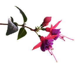 Blume Fuchs Fuchsie