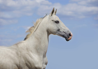 outstanding white akhal-teke horse portrait with blue sky behind