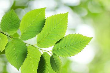Beautiful green elm leaves