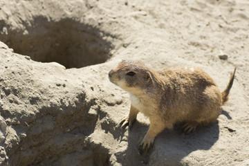 souslik (ground squirrel)