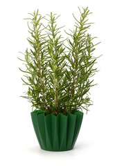 Sweet rasemary plant