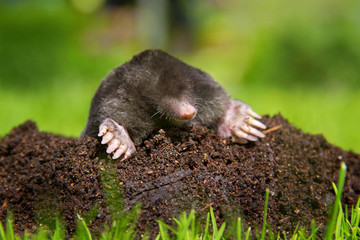 Mole on molehill