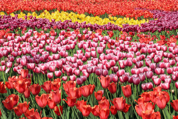 Beautiful tulips flowers field in summer day
