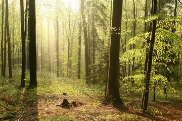 Keuken foto achterwand Bos in mist Beech forest in a nature reserve in the spring morning