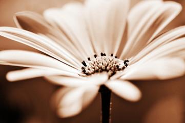 pretty daisy, shallow depth of field