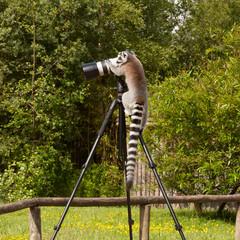Ring-tailed lemur sitting on tripod
