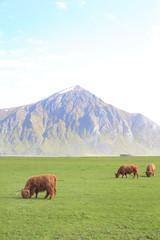 Lofoten Higland's cow