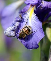 Жук восковик на цветке ириса