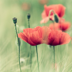 Wall Mural - Red Poppies