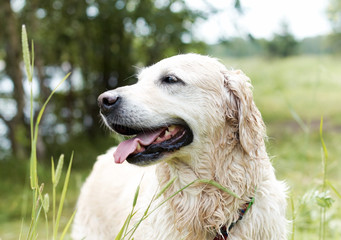 Portrait of Golden Retriever. Female, eight years old.
