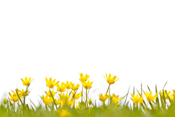 Filed with buttercups on a white background