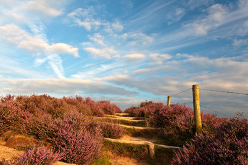 Blooming heathland with hiking trail at the Veluwe in Holland