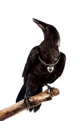 Fototapete - The black bird sits on a branch