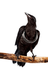 Fototapete - The black bird sits on a branch with a silver necklace