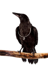 Fototapete - The black bird sits on a branch with a silver hear