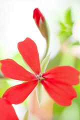 Geranium flower close up