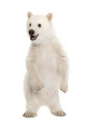 Deurstickers Ijsbeer Polar bear cub, Ursus maritimus, 6 months old, standing