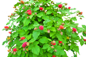 Raspberry bush on a white background,a lot of red fruit,radiant