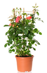 beautiful roses bush in pot isolated on white