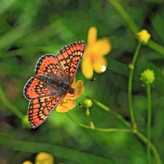 red butterfly on yellow flower