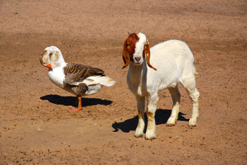 Goat and goose