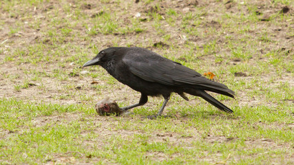 Crow eating a piece of meat
