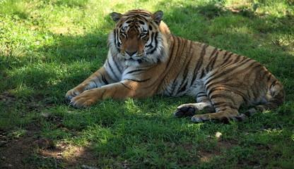 tigre du bengale mâle couché