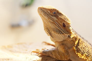 Bearded dragon in vivarium shot in landscape