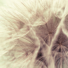 Abstract closeup of a meadow salsify