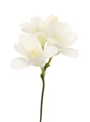 Kwiat frezji na białym tle