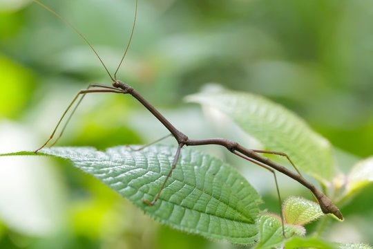 tropical stick insect