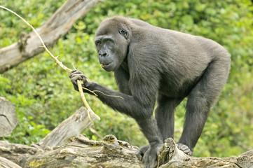 """Gorille """"femelle"""""""