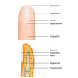 anatomie fingernagel, vektor illustration