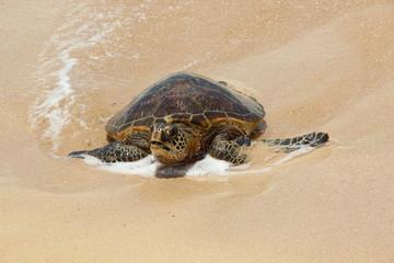 Grüne Meeresschildkröte an der Turtle Bay von Oahu (Hawaii)