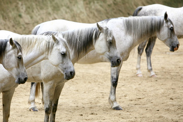 Horses standing in a line