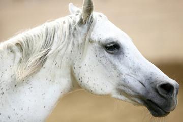White horse, head