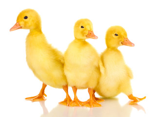 Three duckling isolated on white
